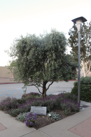Olive tree, Spanish lavender